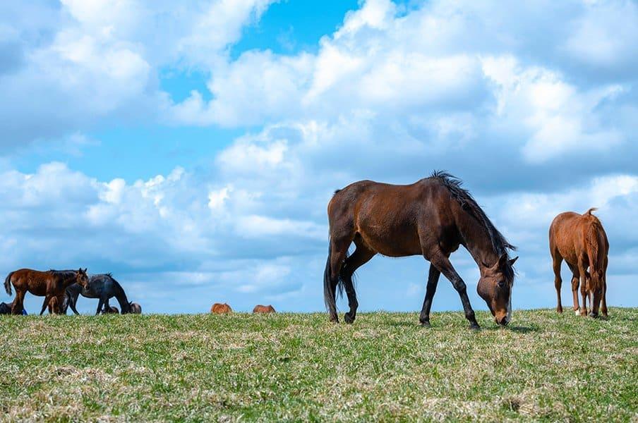 競走馬 放牧